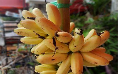 Day 16.  바나나 사랑이 넘치는 캄보디아 가정
